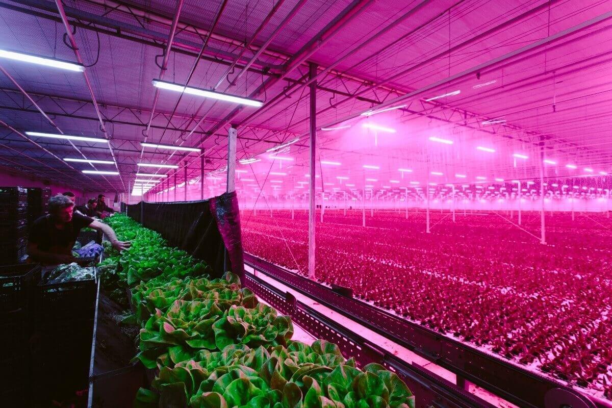 đèn led quang hợp trồng rau